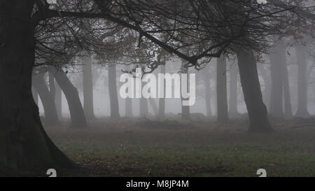 Multiple tree trunks both straight and bent seen through the mist as it clears on early October morning in Richmond - Stock Image