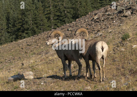 Pair of bighorn sheep on firm footing of slope in Canadian Rockies of Alberta, Canada.  Wildlife viewing from Highway 40 on road trip. - Stock Image