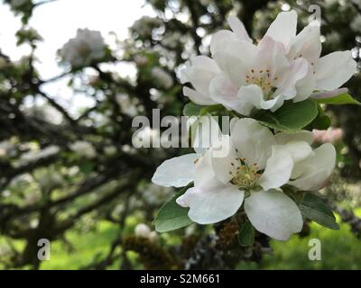 Close up of white flower, with faded branches in background. - Stock Image