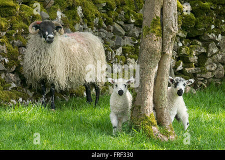 Peek-a-boo. Ewe with spring lambs in the Yorkshire Dales at Kettlewell. England, UK - Stock Image