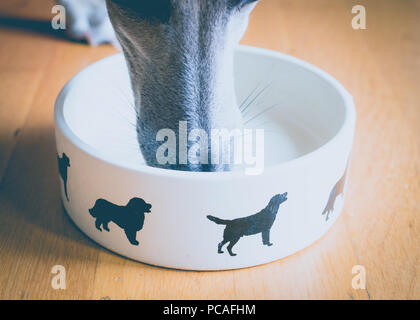 Whippet Dog nose in food bowl - Stock Image