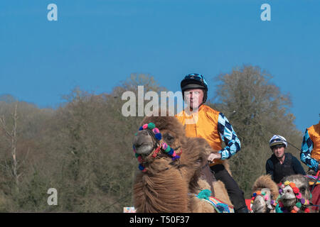 Hungerford, West Berkshire, UK. 19th Apr 2019. Melbourne 10 Racing Camel Racing in the main area thrilling the crowds with AP McCoy (Sir Anthony Peter McCoy OBE, commonly known as AP McCoy ) former champion horse racing jockey taking the the lead and onto win the race over famous horse race trainer Jamie Osborne and Nico de Boinville racing jockey who competes in National Hunt racing. Credit: Gary Blake/Alamy Live News - Stock Image