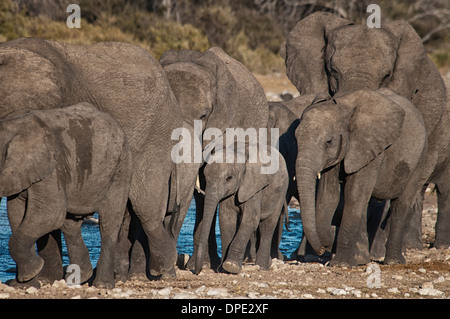 Baby African Elephant, Loxodonta africana, walking in the protection of a herd at a waterhole, Etosha NP, Namibia, West Africa - Stock Image