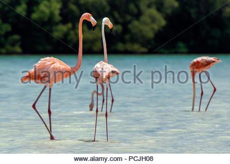 American pink flamingo - Phoenicopterus ruber - Stock Image