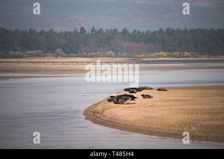 Common Seals resting on sand bar in Loch Fleet National Nature Reserve, Sutherland, Scotland, UK - Stock Image