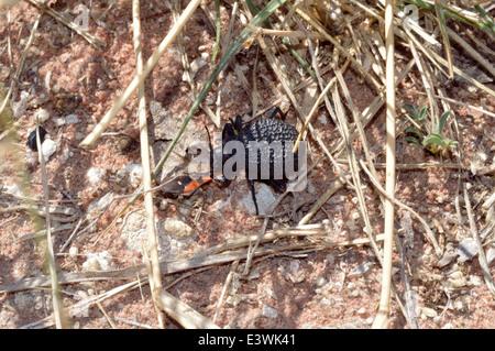 Darkling beetle feeding on a Ground bug (Spilostethus pandurus) Namibia - Stock Image