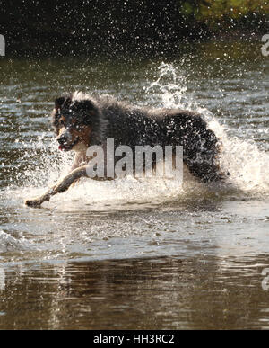Dog Australian shepherd chasing toy in river, Ohio Little Miami River - Stock Image