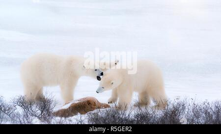 Two polar bears in northern Canada appearing to be fighting, but actually playfully sparring together in the snow. Churchill, Manitoba. - Stock Image