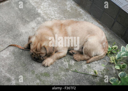 Cute puppy fuzzy tan napping from above - Stock Image