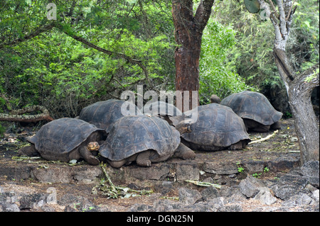 Galapagos islands island South America Ecuador tortoise travel - Stock Image