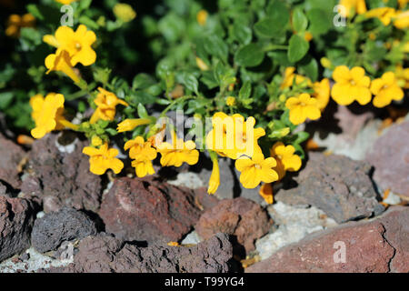 Yellow small flowers with small leaves photographed during a sunny day in Madeira. Detailed closeup photo - Stock Image