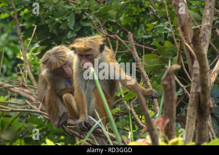 Two monkeys in a tree - Stock Image
