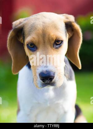 beagle puppy dog portrait - Stock Image