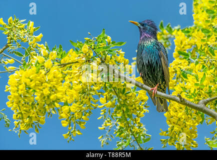 Starling, Scientific name: Sturnus Vulgaris. perched in Laburnum Tree with bright yellow flowers.  Blue Sky background.  Facing left. Landscape - Stock Image