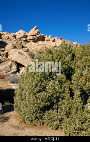 Berries, fruits on juniper. Mojave Desert, Joshua Tree National Park, California - Stock Image