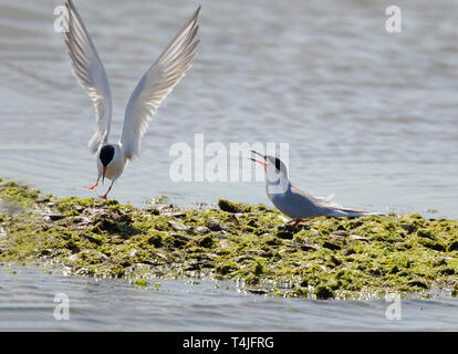 Forster's Terns Calling and Landing with Wings Up - Stock Image