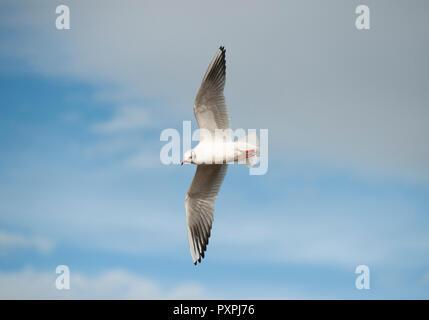 Black-headed Gull, Chroicocephalus ridibundus, in flight over Brent Reservoir, Brent, London, United Kingdom - Stock Image