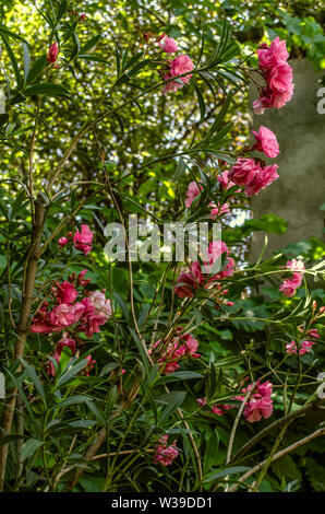 Summer garden near the house with flowering bushes of pink, terry oleander on the background of fruit green trees - Stock Image