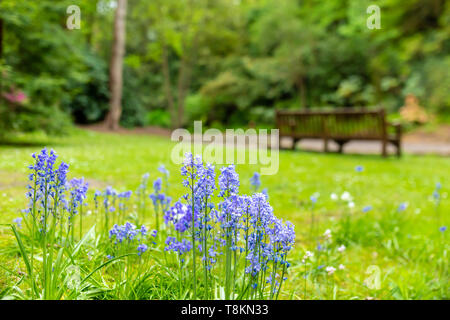 Colour landscape photograph of a type of spanish bluebell's in focus in foreground with park bench in background. Branksome chine, Poole, Dorset, Engl - Stock Image
