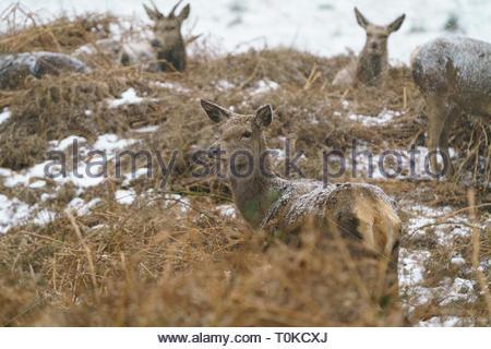 Red Deer, taken in United Kingdom - Stock Image