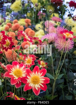 Dahlia flowers display, with Dahlia La Giaconda featured bottom left. - Stock Image