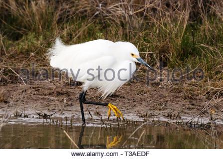 Snowy Egret, Egretta thula, in shallow pond in Arizona USA - Stock Image
