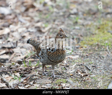 A ruffed grouse, Bonasa umbellus, foraging on the forest floor in the Adirondack Mountains, NY. - Stock Image