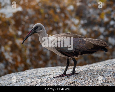 Hadada or Hadeda Ibis (Bostrychia hagedash) on the shores of False Bay near Cape Town on the Western Cape, South Africa - Stock Image