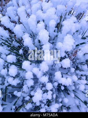 Rime Ice on Yucca Spikes, Proposed BLM Wilderness, Utah   Yucca angustissima - Stock Image