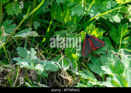 Cinnabar moth (Tyria jacobaeae) resting away from direct sunlight on the underside of green leaves in Essex UK - Stock Image