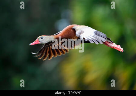 Black-bellied Whistling-duck in flight. - Stock Image