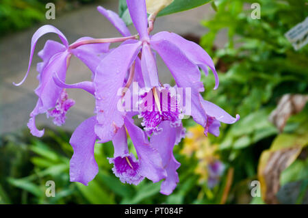 Cattleya maxima Lindl Orchid - Stock Image