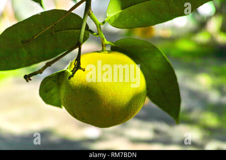 Tasty navel oranges plantation with many orange citrus fruits hanging on trees, Agaete valley, Gran Canaria, Canary, Spain - Stock Image