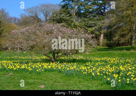 Hughenden Park, Buckinghamshire. 29th Mar 2019. UK Weather: Sunshine and Daffodils in Hughenden Park, Buckinghamshire, UK Credit: Susie Kearley/Alamy Live News - Stock Image