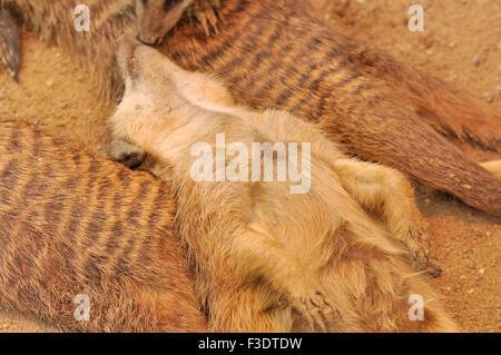 Meerkat laying on his back - Suricatta suricates - Stock Image