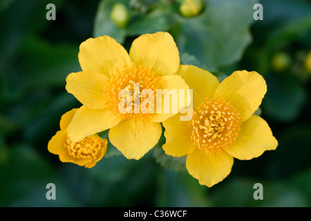 Close-up image of a blossom Kingcup (Caltha palustris) in spring time. - Stock Image
