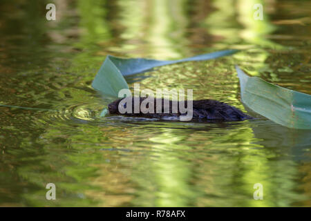 Water Vole (Arvicola terrestris, Arvicola amphibius) with reed in the water, Middle Elbe Biosphere Reserve, Saxony-Anhalt - Stock Image