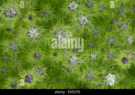 Close up of Love in a Mist buds just starting to open. - Stock Image