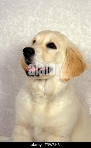 labrador golden retriever puppy - Stock Image