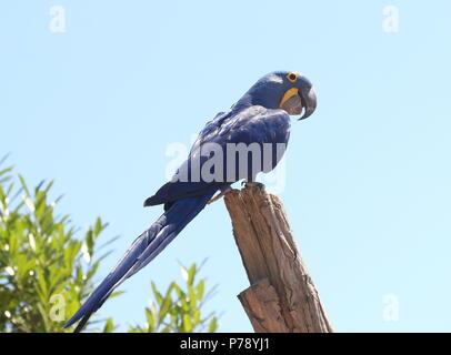 South American Hyacinth Macaw (Anodorhynchus hyacinthinus). in closeup. - Stock Image