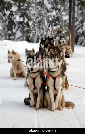 Team of husky dogs ready to pull a musher and sledge beyond the arctic circle Lapland Finland - Stock Image