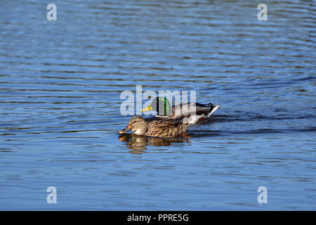 A mallard pair on the water - Stock Image