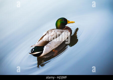 Mallard duck swims serenely in a lake making circles in water - Stock Image