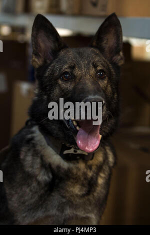 Dirk, a 52nd Security Forces Squadron military working dog, rests after detection training in the post office at Spangdahlem Air Base, Germany, Aug. 28, 2018. Training ensures MWDs are proficient in their capabilities to work with security forces Airmen. MWDs have a sense of smell 5-10 times greater than a human's and can detect traces of drugs and explosives. (U.S. Air Force photo by Airman 1st Class Valerie Seelye) - Stock Image