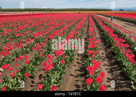 Rows of colorful tulips at the Wooden Shoe Tulip Festival in Woodburn, Oregon, USA. - Stock Image