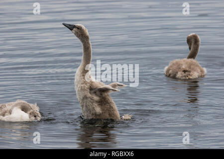 Young Mute Swan cygnet stretches and flaps underdeveloped wings. - Stock Image