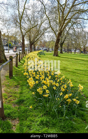 daffodils in bloom at Parsons Green and Fulham London UK - Stock Image