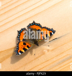 A small Tortoiseshell butterfly Aglais urticae resting on a wooden plank in early Autumn in North Yorkshire England UK - Stock Image