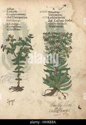 Caper spurge, Euphorbia lathyris, and wolfsmilk spurge, Euphorbia esula. Handcoloured woodblock engraving of a botanical - Stock Image