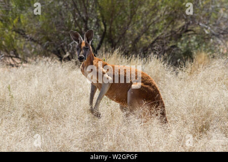 Male Red Kangaroo Macropus rufus - Stock Image